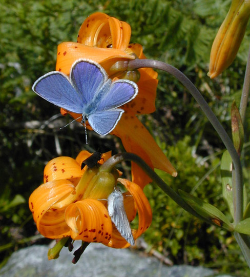 Tiger Lily with Blue Butterfly